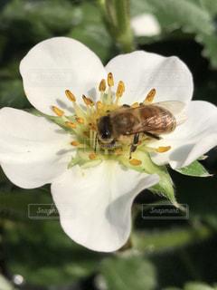 ミツバチの写真・画像素材[424050]