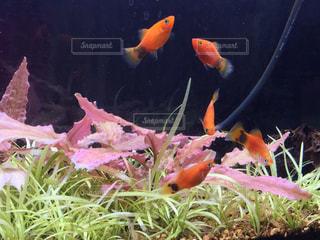 熱帯魚の写真・画像素材[425572]