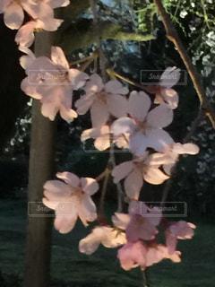 しだれ桜の写真・画像素材[425573]
