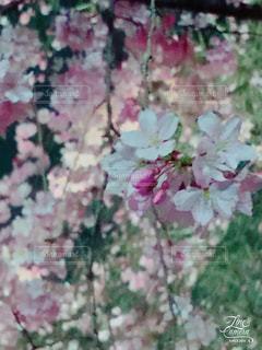 しだれ桜 - No.425574