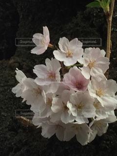 お花見の写真・画像素材[425576]