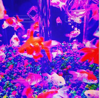 #金魚 #金魚アクアリウム #カラフル #水槽 #癒しの写真・画像素材[564805]