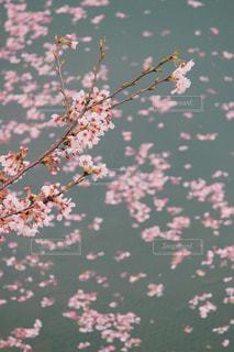 桜 - No.428157