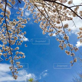 No.455801 桜
