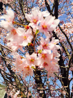 ピンクの花の木 - No.748767