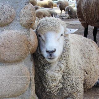 No.436446 羊