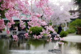 しだれ桜の写真・画像素材[431370]