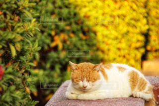 地面に横になっているオレンジと白猫の写真・画像素材[1639934]