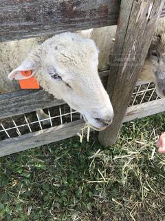 木製フェンスの上に羊の立っています。の写真・画像素材[1076566]