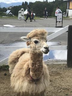 羊を踏んでラマのグループの写真・画像素材[1076706]