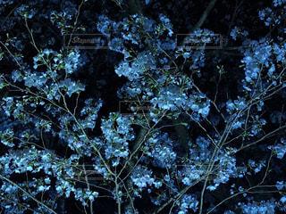 桜の写真・画像素材[434323]