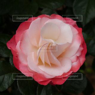 花の写真・画像素材[489017]