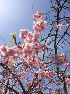 No.454583 桜
