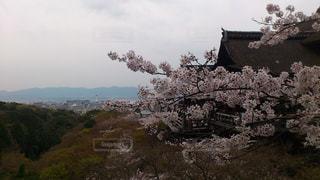 清水寺桜の写真・画像素材[435449]