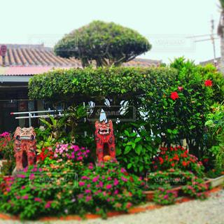 石垣島 シーサーの写真・画像素材[453221]