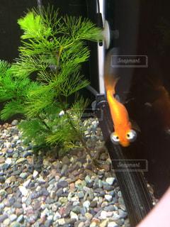 魚の写真・画像素材[435556]
