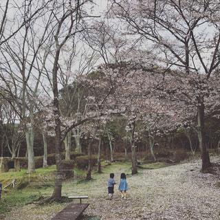桜の写真・画像素材[446388]