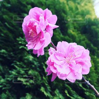 花 - No.436419