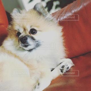 近くに犬のアップ ポメラニアンの写真・画像素材[727738]
