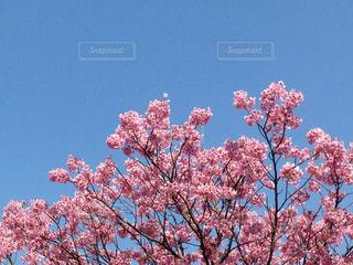 空 桜 雲の写真・画像素材[436887]