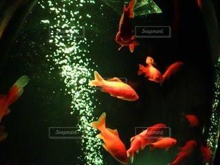 金魚 - No.12890