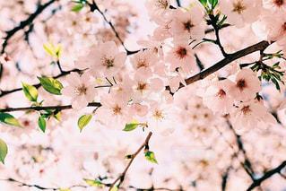 春の写真・画像素材[437414]