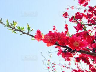 桜の写真・画像素材[437101]