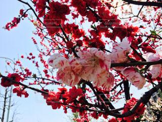 No.452415 桜
