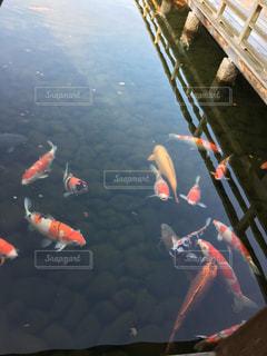 鯉の写真・画像素材[437277]