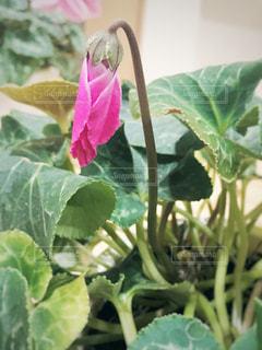 花の写真・画像素材[441785]