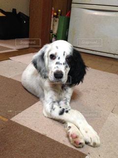 家でお上品な感じのイングリッシュセターの子犬です。の写真・画像素材[1084834]