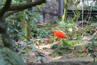 赤い鳥の写真・画像素材[440288]