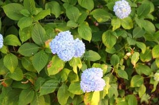 花の写真・画像素材[523303]