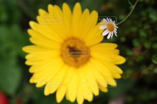 白と黄色の写真・画像素材[546028]