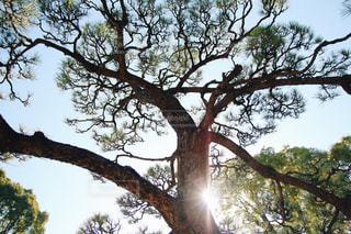大きな木の写真・画像素材[1008084]