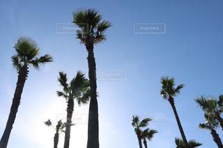 ヤシの木の写真・画像素材[499216]