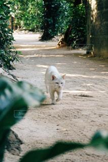 未舗装の道路を歩いて白い犬の写真・画像素材[1073111]