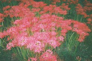 植物にピンクの花の写真・画像素材[1562889]