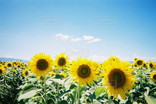 黄色の花の写真・画像素材[1562893]