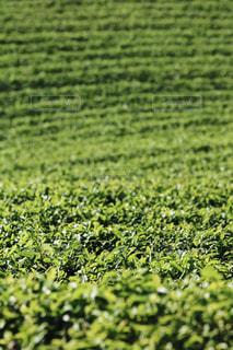 緑の畑のクローズアップの写真・画像素材[3143957]