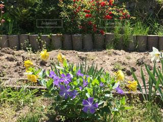 #家庭菜園の写真・画像素材[458787]
