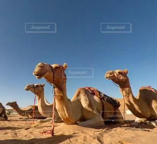ラクダの群れの写真・画像素材[1108533]