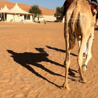 ラクダに乗るの写真・画像素材[1108639]
