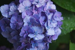 雨の紫陽花の写真・画像素材[1246139]