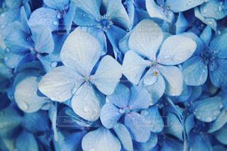 紫陽花の写真・画像素材[1246142]
