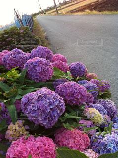 紫陽花の写真・画像素材[1246295]