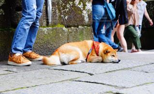 ひもにつないで犬の写真・画像素材[1309271]