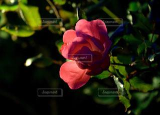 花の写真・画像素材[552039]
