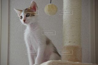 前を凝視する猫の写真・画像素材[2270539]