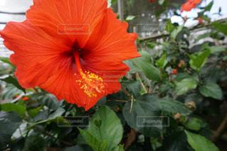 植物の赤い花の写真・画像素材[1139350]
